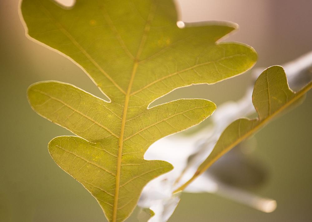 oak leaf-1000