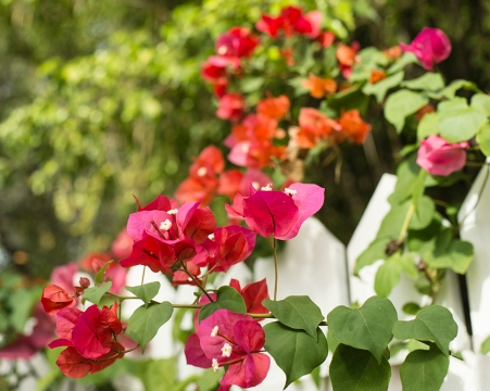 Colourful bougainvillea