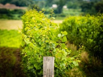 ravine vines blog