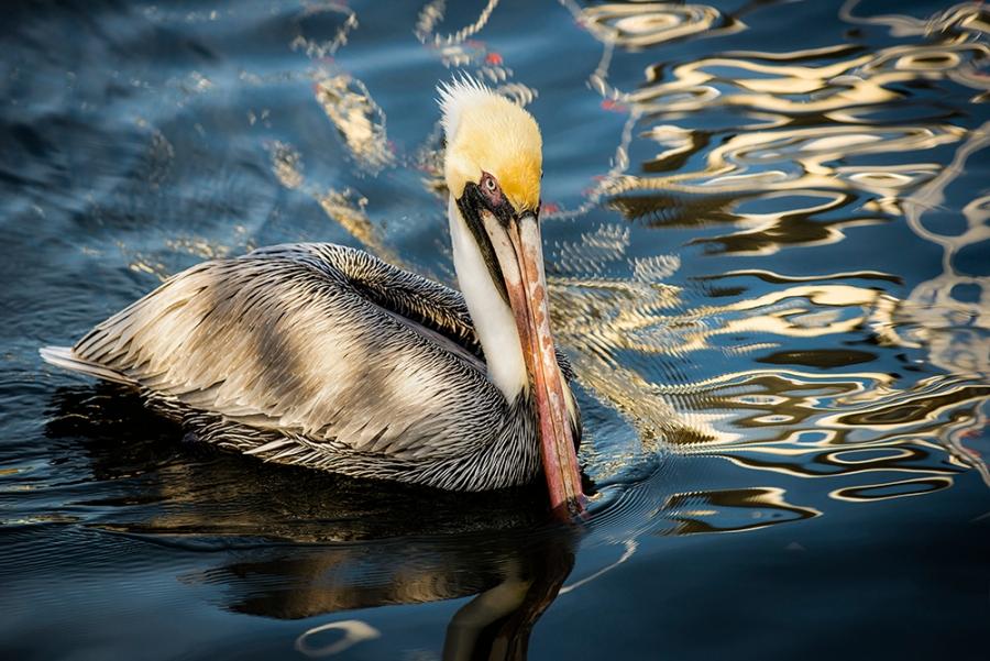 pelican bluelr