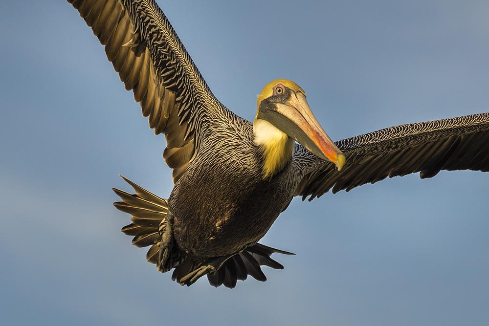 pelicanslr