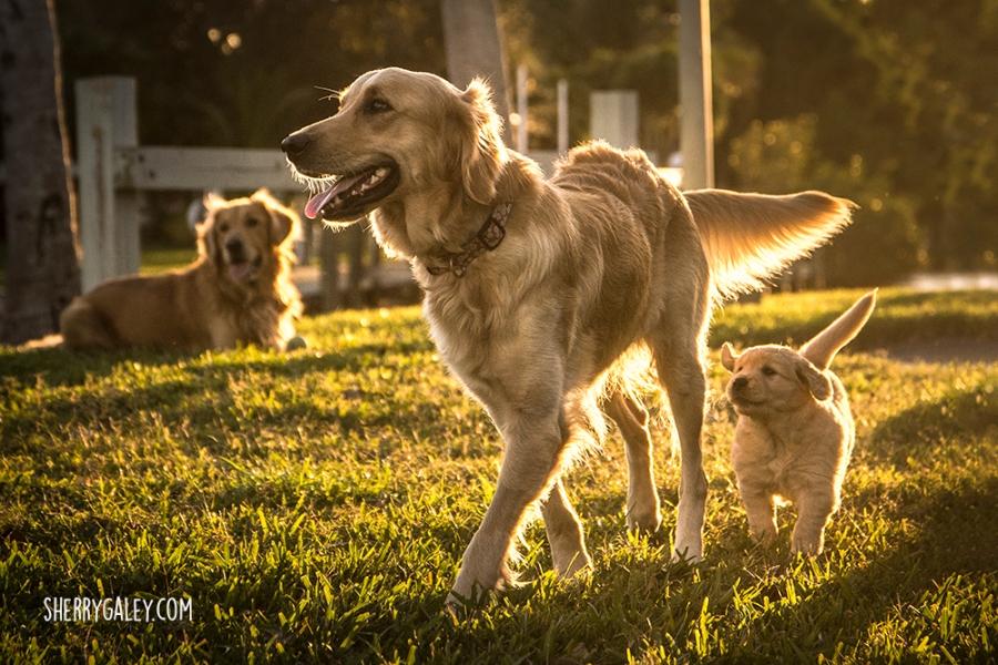 dad mum and puppy