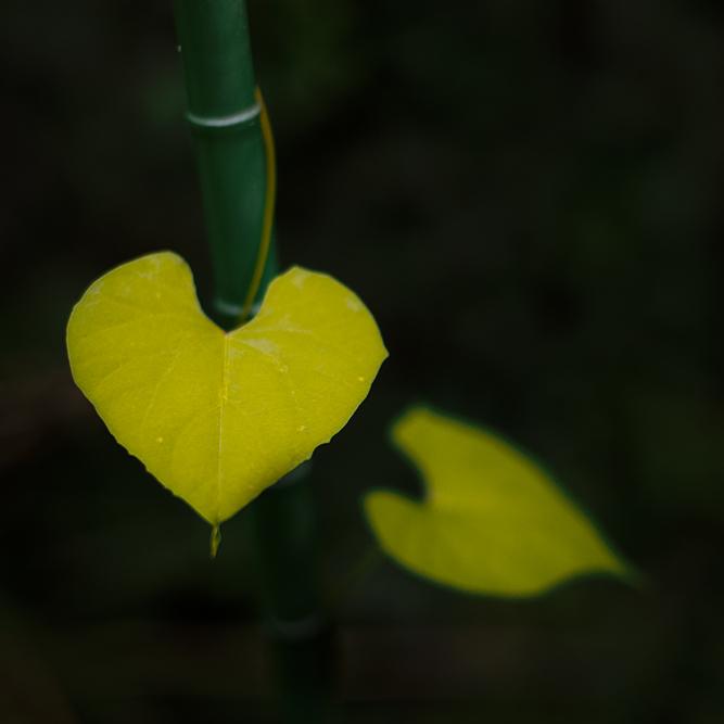 heart leavessq