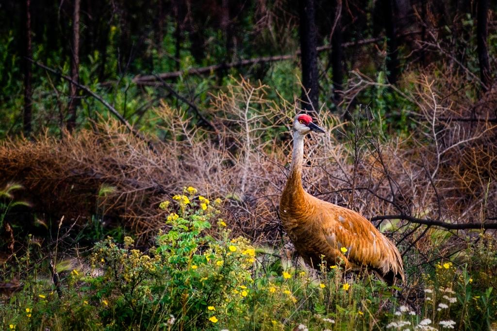 sandhill cranehr